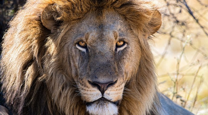 Celebrate World Lion Day 2020