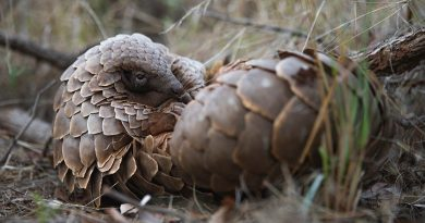 Roll With Us for Eight Days of Pangolins