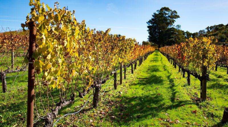 Warmer California Winters May Fuel Grapevine-Killing Pierce's Disease