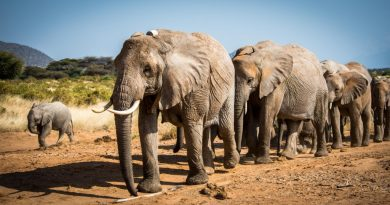 Giant Steps for Elephant Recovery