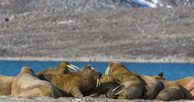 Warming Trends: Where Have All the Walruses Gone? Plus, a Maple Mystery, 'Cool' Islands and the Climate of Manhattan